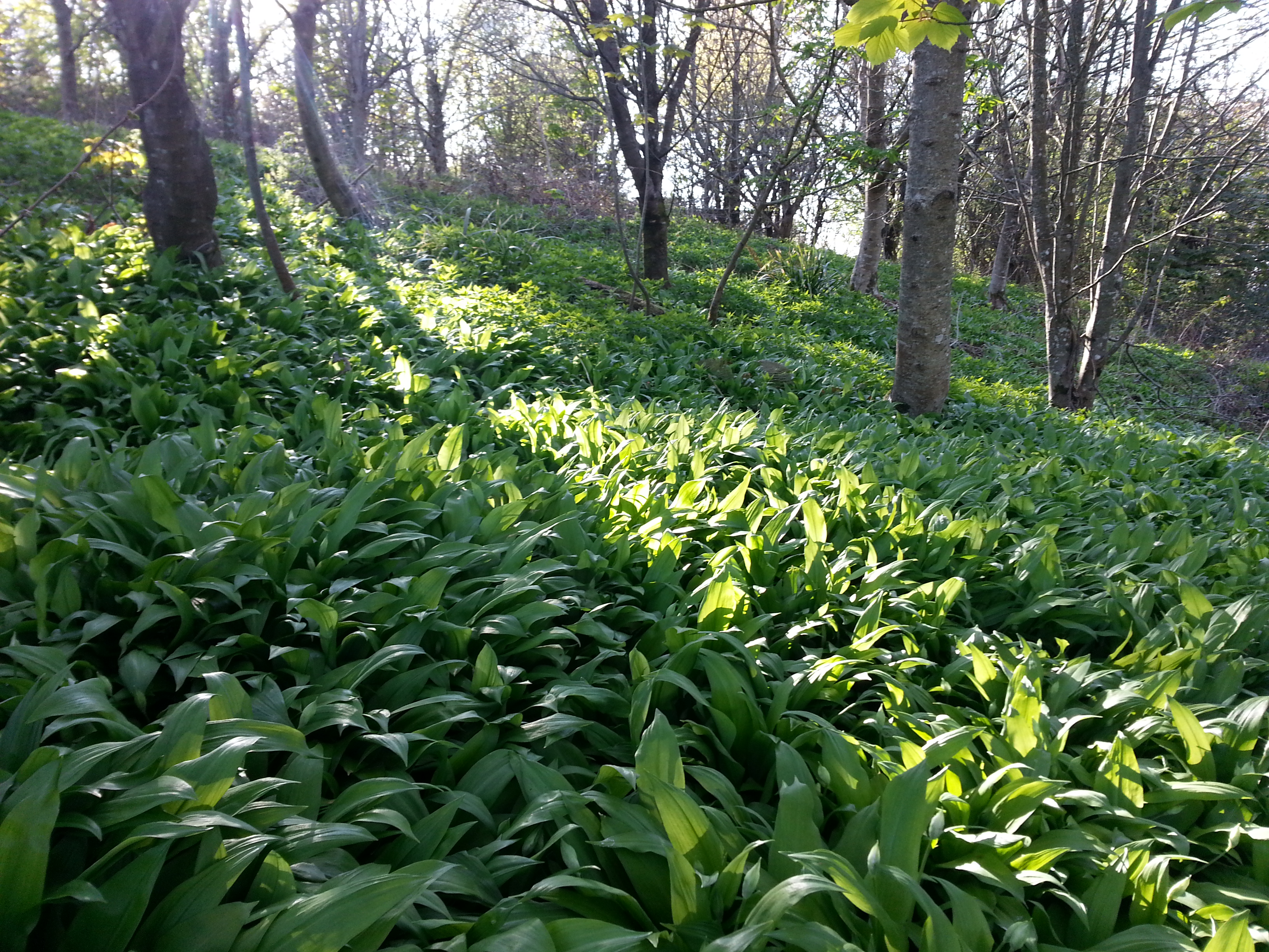 Local wild garlic