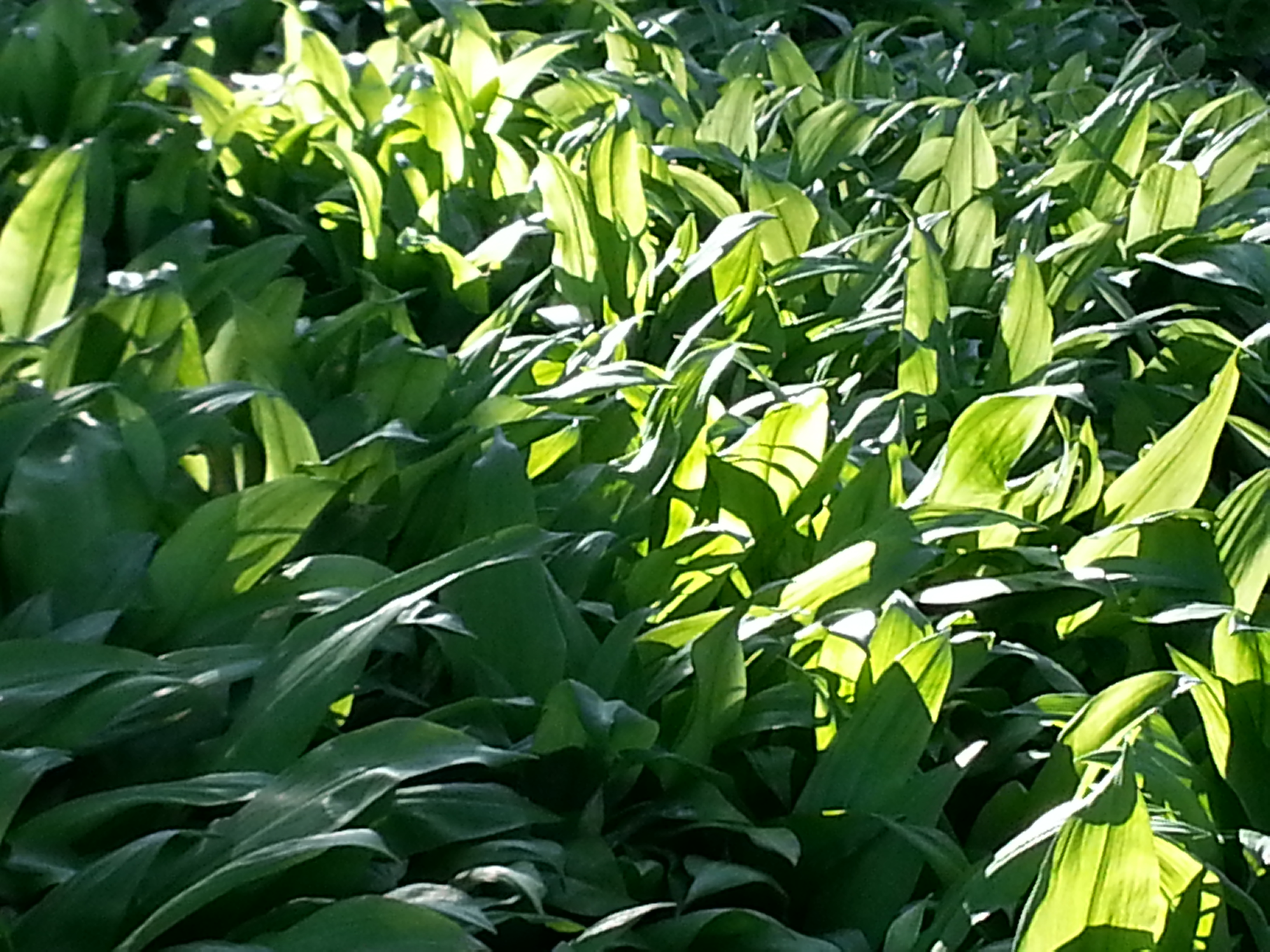 A sea of wild garlic